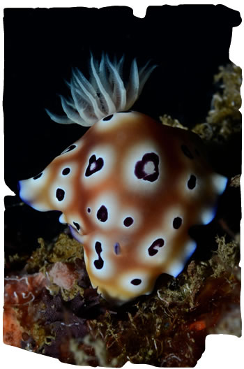 Nudibranch, Donggla in Sulawesi