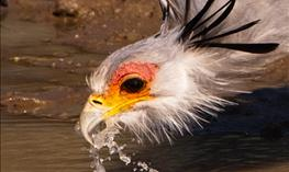 https://www.reisebazaar.no/images/TourImages/263x157/Secretarybird1.jpg